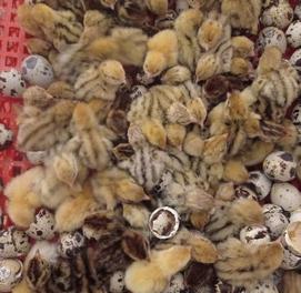 1-кунлик бедана жу́жаларига буюртма оламиз