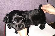 Продаются щенки американского кокер спаниеля, окрас черный