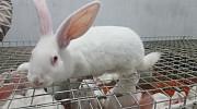 Продаются кролики. Куёнлар сотилади.