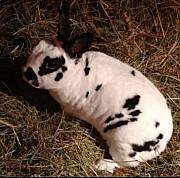 Карлыкивие кролики