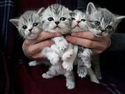 Котята шотландцы различной окраски, голубые и шиншиллы!!!