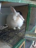 Продаётся Продается кролики
