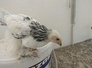 Цыплята брами жўжалар бор брма