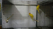 Продаются новозеланских попугаев пара.