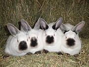 Продаются кролики породы калифорния