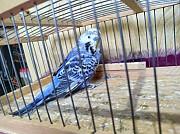 Продаются Попугаи два Самца Чех и Под Чех готовые взрослые